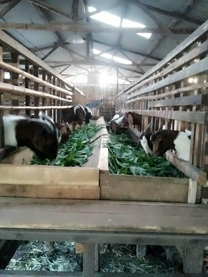 cara ternak kambing modern