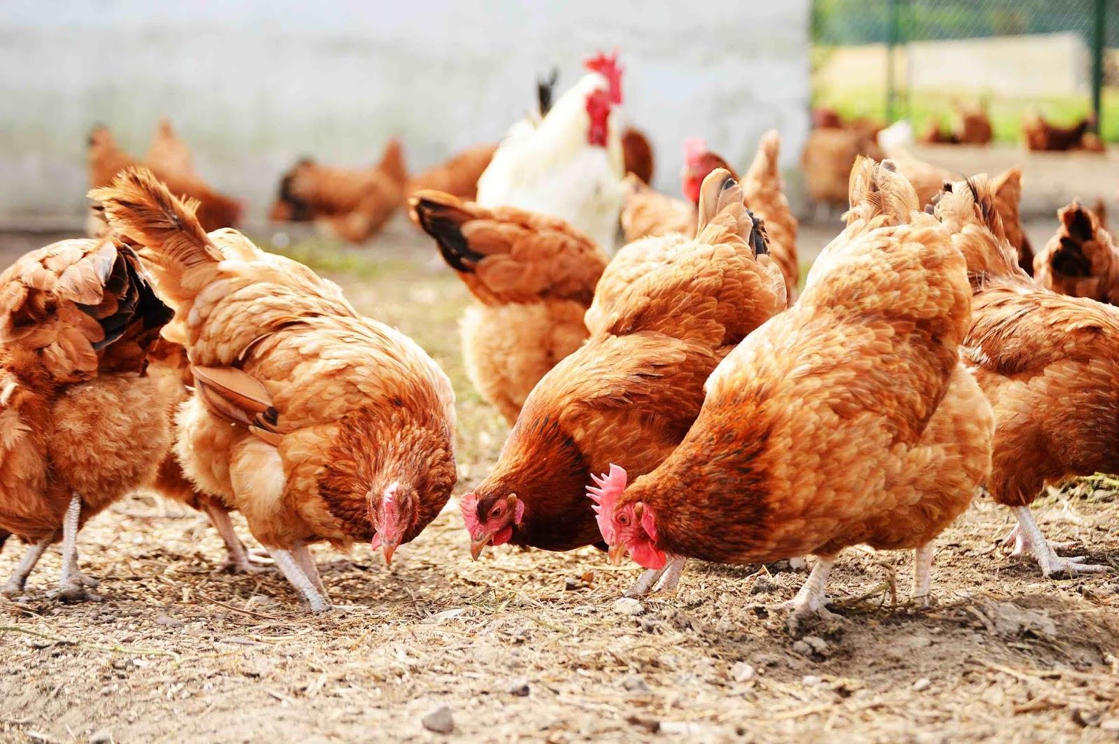 jenis-jenis ayam petelur
