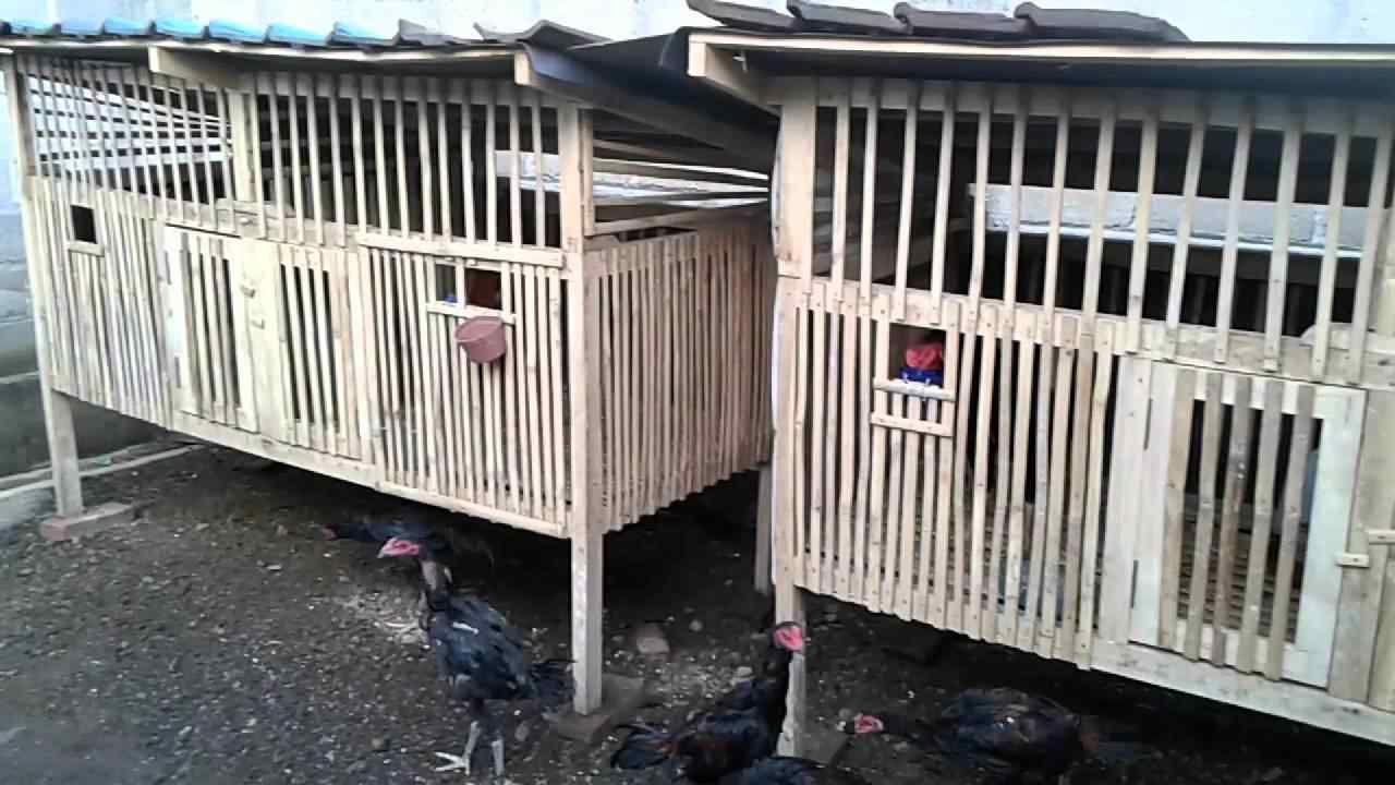 Cara Beternak Ayam Bangkok
