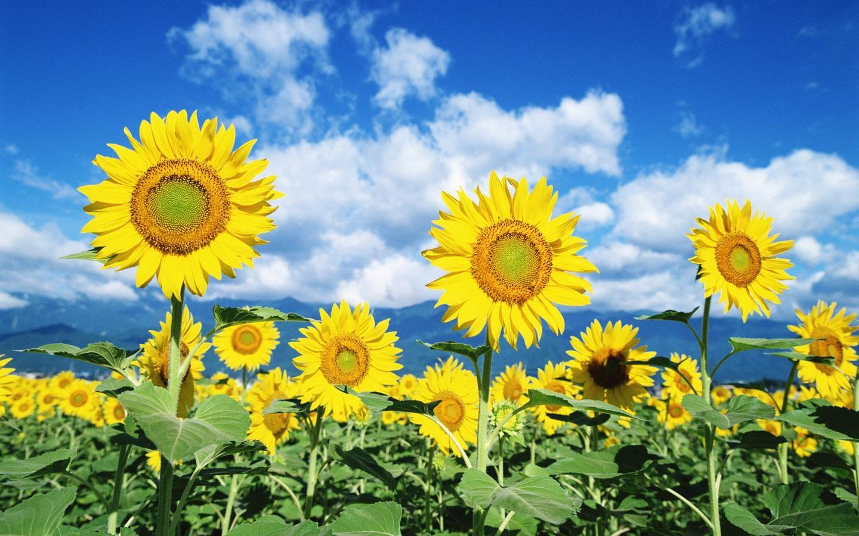 cara menanam bibit bunga matahari