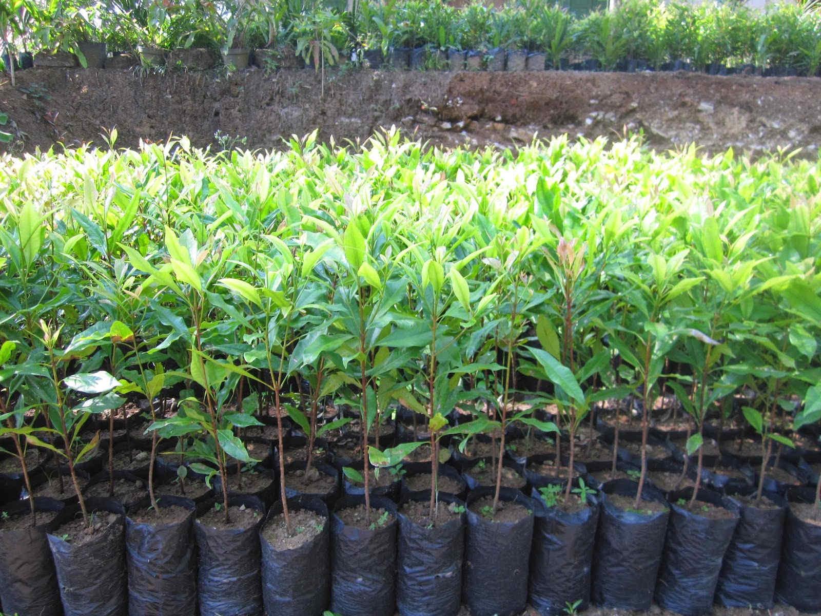 cara menanam tanaman cengkeh agar cepat berbuah