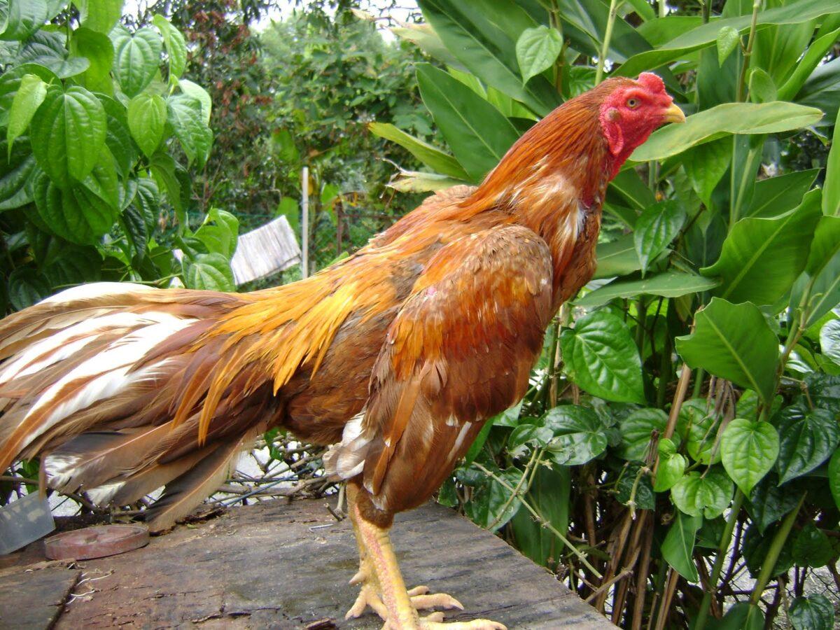 Cara Memelihara Ayam Bangkok