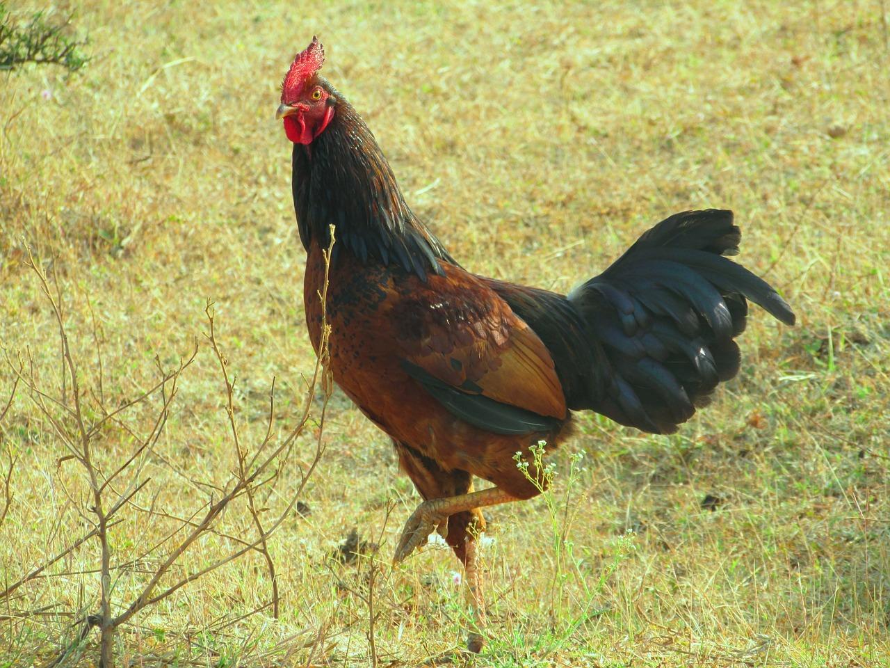 Cara Ternak Ayam Bangko Aduan Yang Bagus
